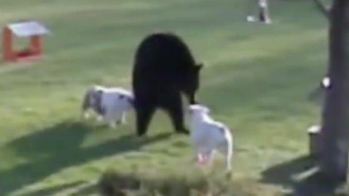 Two Dogs Chase Off Black Bear Preview Image
