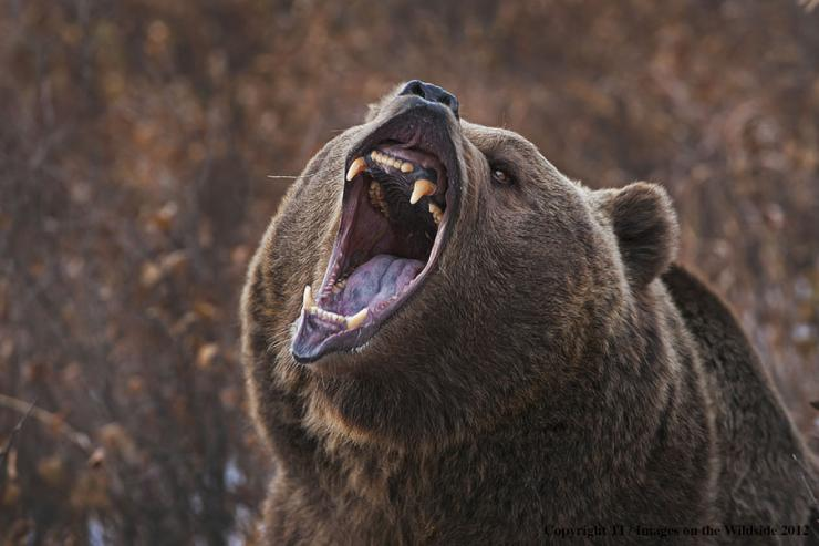 Hunting in grizzly country can be a hair-raising experience. (Denver Bryan image)