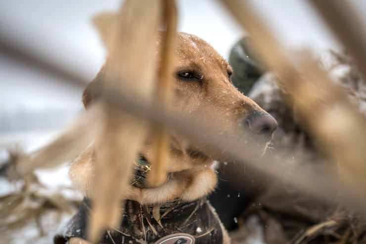 Motionless and out of sight, this pup is well hidden from approaching waterfowl. Photo © Bil Konway
