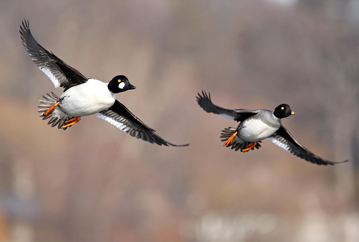 An hour into the hunt, the show really began. Massive flocks of goldeneyes flew south and then began trickling back north in smaller bunches. Photo © Jim Nelson/Shutterstock