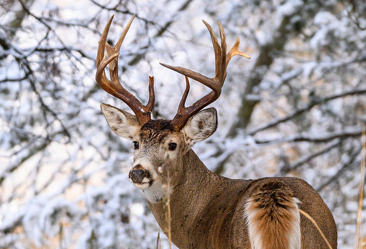 Quality wintertime deer hunting depends on four key things. These include living resident bucks, good food, security bedding and transition routes. (John Hafner photo)