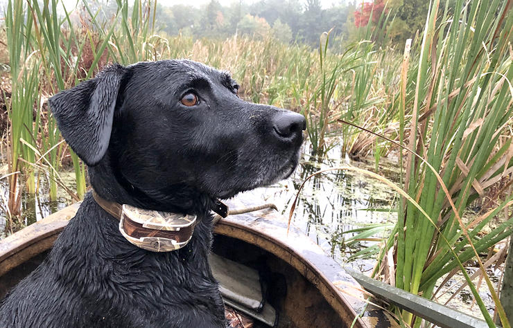 Alert and ready, Birdie, the Duck Blog dog, surveys the opening-day marsh. Photo © Brian Lovett