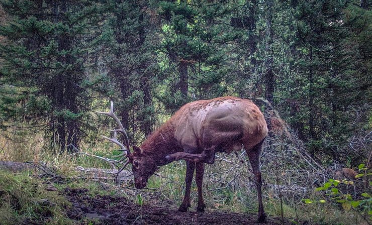 Borrowing whitetail tactics can yield valuable results in the elk woods, especially if you can peg locations elk frequent regularly like this wallow the author annually hunts on hot afternoons. (Darron McDougal photo)