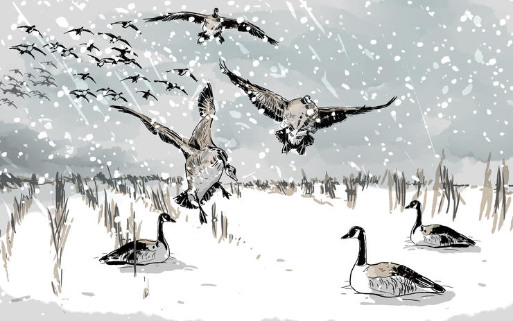 At daybreak, large flocks of honkers lifted off larger waters and headed to the beanfield, barely visible through the snow. Illustration © Ryan Orndorff