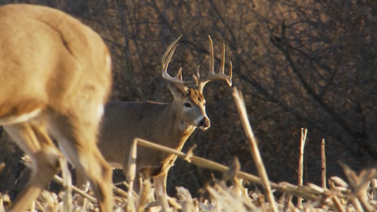 Seeing a nice buck at close range like this is a great feeling for a bowhunter. (Whitetail Freaks photo)