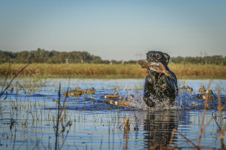Yeah, it's hot, and the bugs are bad, but hardcore duck hunters love the rewards of teal hunting. Photo © Bill Konway