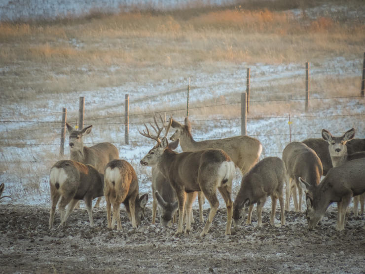 Targeting a buck with a group of does can be difficult. But it's certainly possible. (Darron McDougal photo)