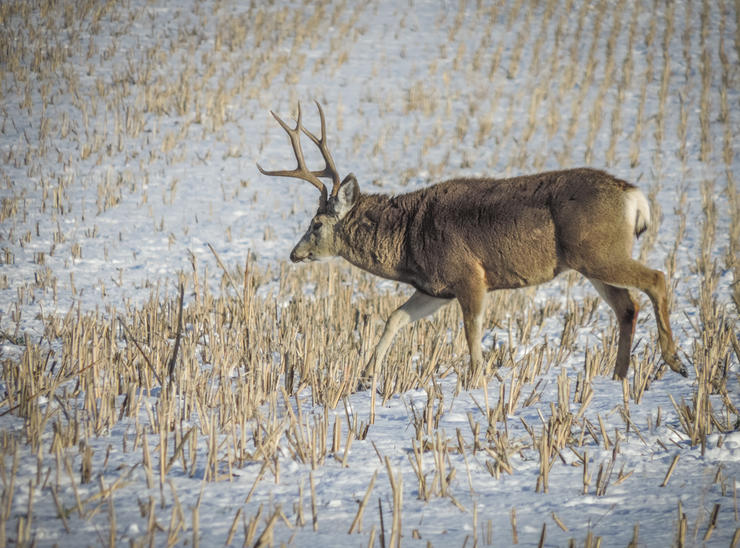 Every mule deer buck is different. But most of them share certain similarities. (Darron McDougal photo)
