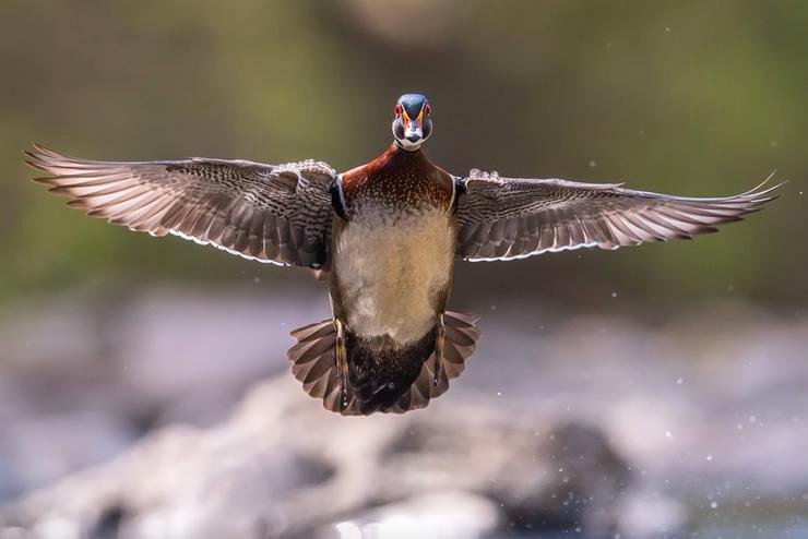 East of the Mississippi River, waterfowling often involves wood ducks. They're a bread-and-butter bird. Photo © Collins93/Shutterstock