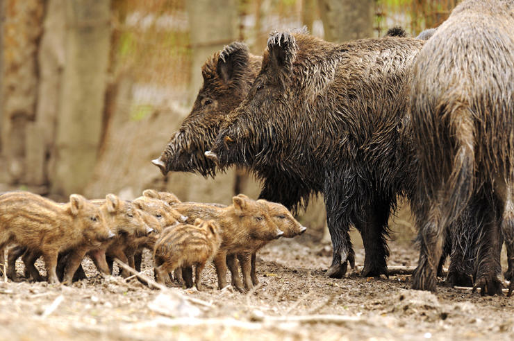 Hogs have shown up on your farm for the first time ever. What do you do? © kyslynskahal-Shutterstock