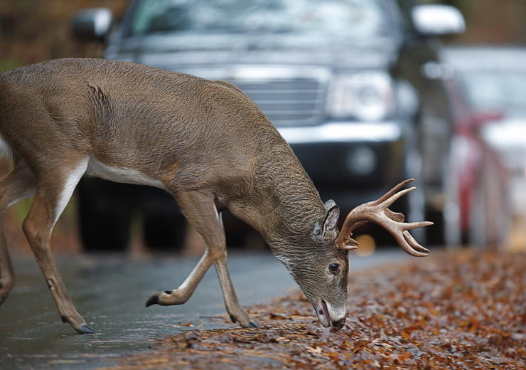 Will urbanization be the demise of whitetails? (Shutterstock / Tom Reichner photo)