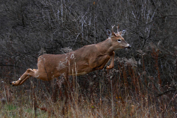 According to the QDMA, in 1989, yearling bucks accounted for 62 percent of the total buck harvest. (Shutterstock / Jim Cumming photo)