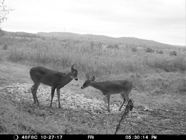 Two yearling bucks. Two completely different body sizes, antler sizes, antler shapes, preferences and habits. (Josh Honeycutt photo)