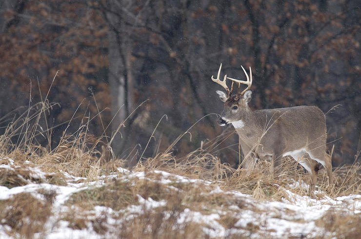 It's important to remember that deer are hardy creatures. Most of the herd will survive winter and carry on the species' legacy. (John Hafner photo)
