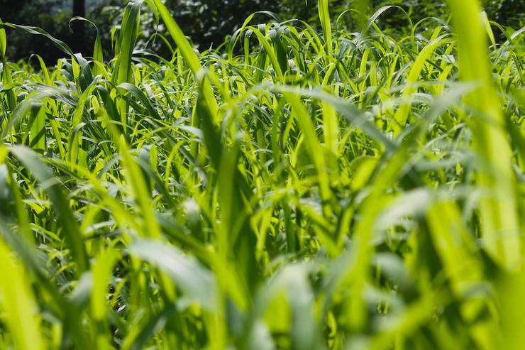 Clethodim is a great for killing grassy weeds in your food plots. (Josh Honeycutt photo)