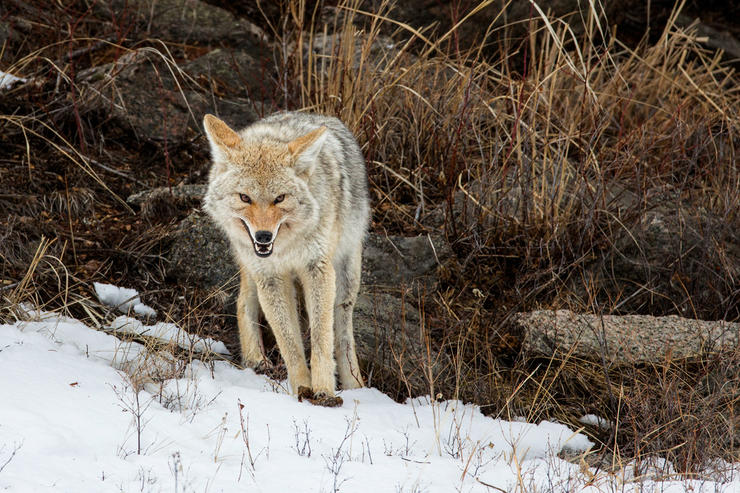 Coyotes and other predators often take too big of a toll on whitetails. So much that in some areas they're causing deer population declines in certain states and regions. (Shutterstock / Doug Oglesby photo)