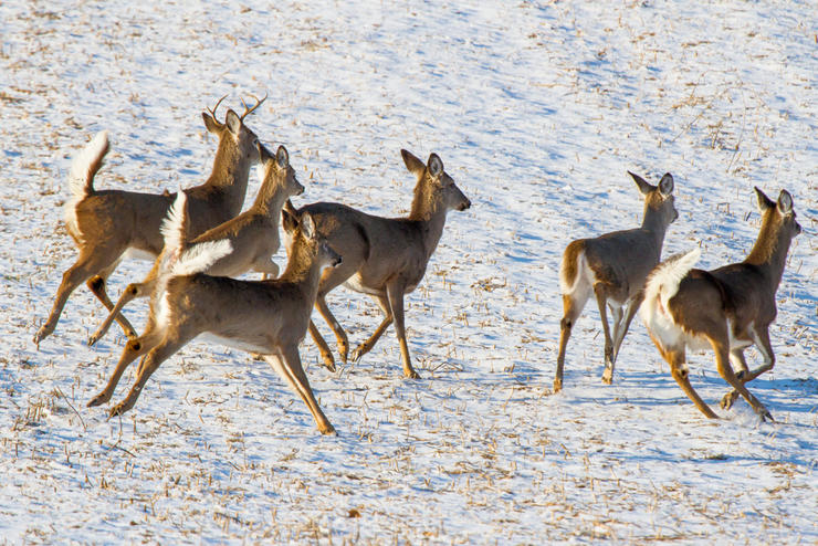 A healthy, stable deer population requires a managed population of predators. (Shutterstock / Frode Jacobsen photo)