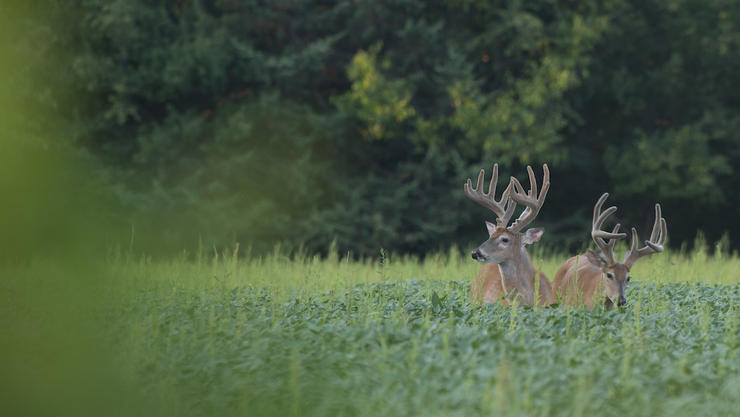 Approximately 50 percent of bucks will have a different fall range than their summer haunt. (Midwest Whitetail photo)