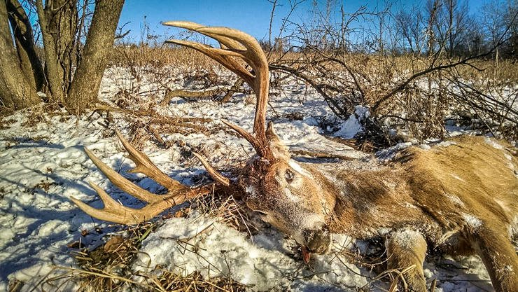 You never want to find a deer dead like this; but that's part of nature. The Stranger Buck met an unknown fate. The author did not conduct an autopsy to determine cause of death. (Scott Bestul photo)