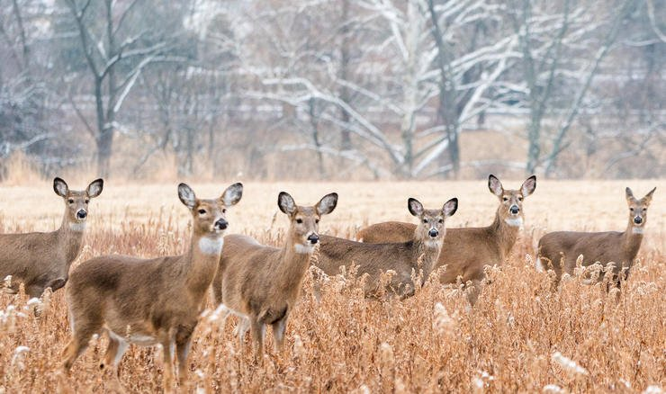 Do you have too many does on your hunting grounds? (Shutterstock / Amy Lutz photo)