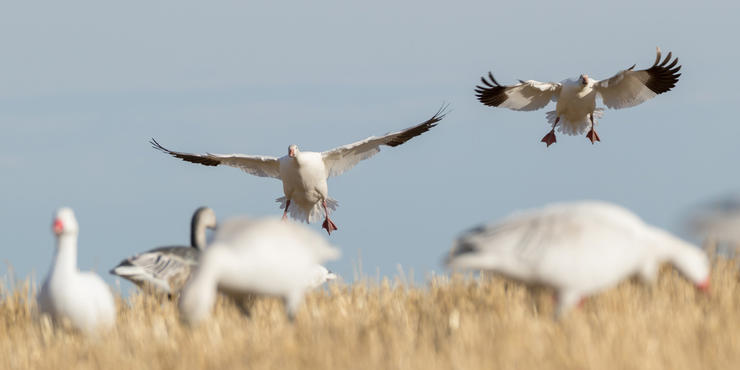 Traditional spring snow goose hotbeds still produce, but some lesser-known areas might surprise you. Photo © Austin Ross