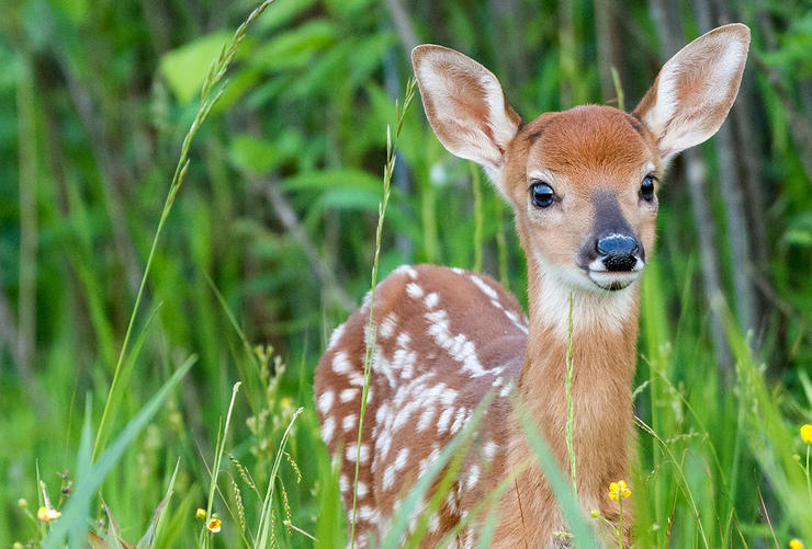 Since last November, 15 fawns were found paralyzed on Martha's Vineyard. Biologists have narrowed the cause, but a definitive source still hasn't been found. (Shutterstock / Stroik photo)