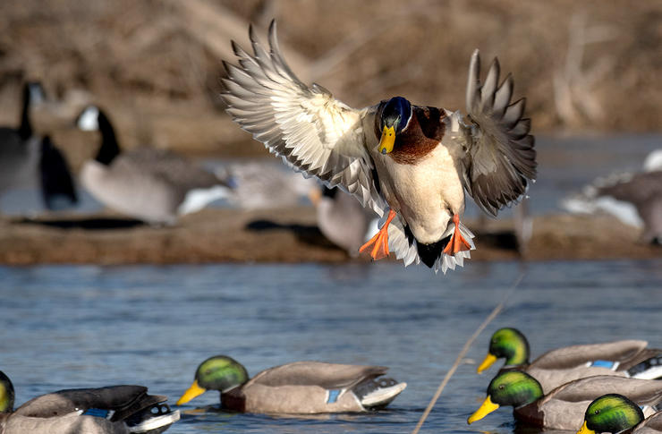 Configure decoy spreads so mallards have a large open hole in which to land. You'll enjoy sure-kill shots. Photo © Forrest Carpenter