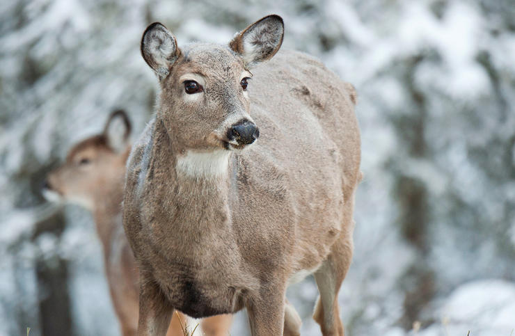 When do you shoot antlerless deer? (John Hafner photo)