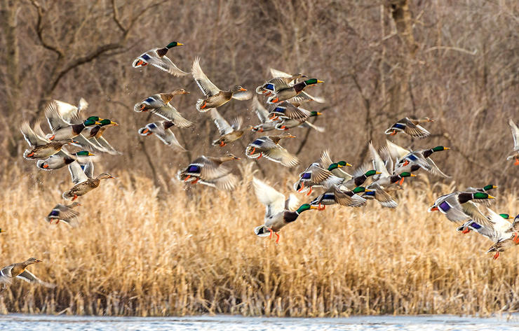 Concealment is always important, but it's especially critical when working big groups of mallards. Check and double-check your hide to make sure you're invisible. Photo © Jeff Gudenkauf