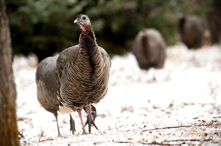 Overall, fall turkey hunter numbers are in decline, with rising interest in the spring tradition. Still, some states enthusiastically market autumn turkey hunts. (© John Hafner photo)