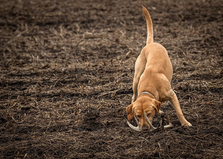The best dog for shed hunting is probably the one you already have (or want to get). (Bill Konway photo)
