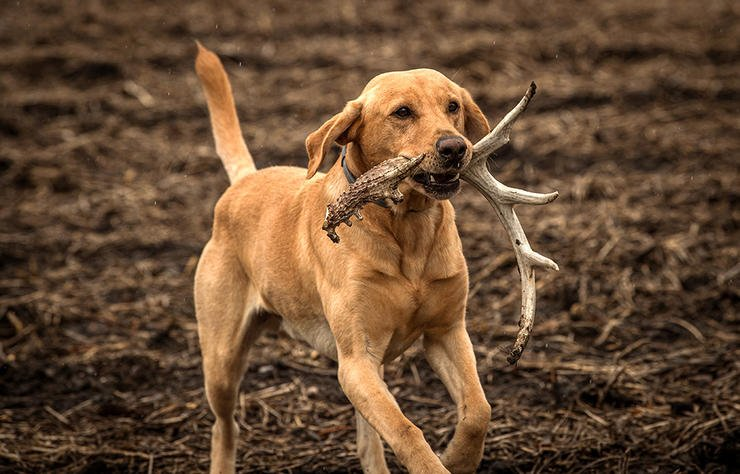 The number of olfactory receptors a dog has isn't as important as retrieving. All dogs have noses good enough to smell antlers. (Bill Konway photo)