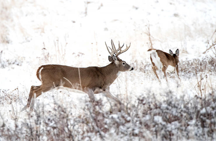 If a big doe comes prancing through with her tail straight out, get ready. This is why. (Russell Graves Image)