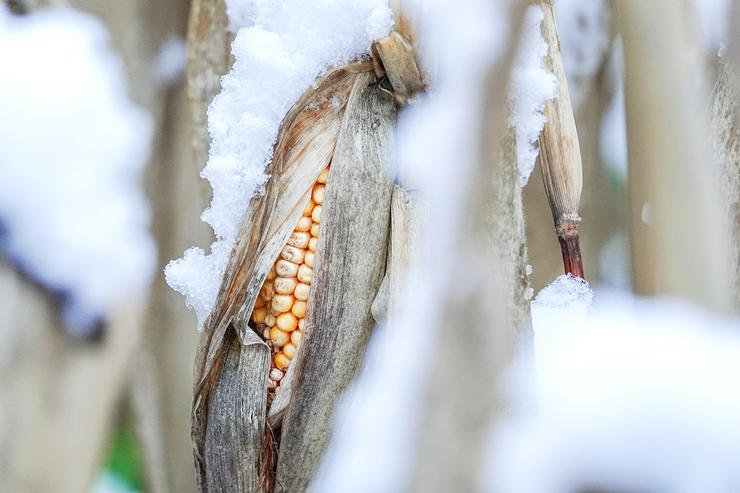 Food sources are key to any late-season strategy, and nothing is more attractive than corn still standing. (Steve Collender / Shutterstock)
