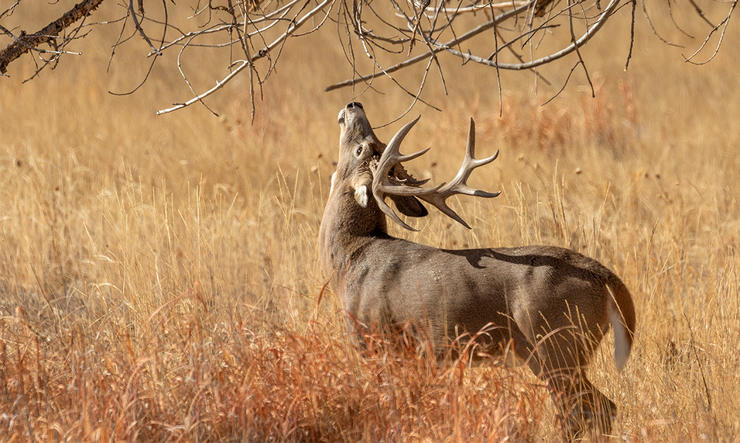 A scrape without a broken licking branch isn't worth hunting. (Tom Tietz Image / Shutterstock)