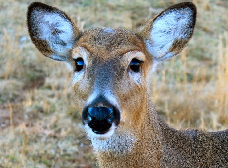 Deer harvest totals are trickling in. While some states are up year-over-year, others are down. (Josh Honeycutt photo)