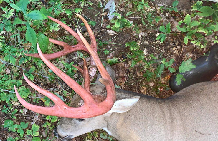 Fresh out of velvet, this buck's rack was still pinkish colored from the blood stain. (Photo courtesy of Dustin French)