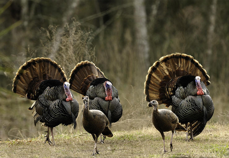Many states with declining populations start hunting seasons early. © Tes Randle Jolly photo