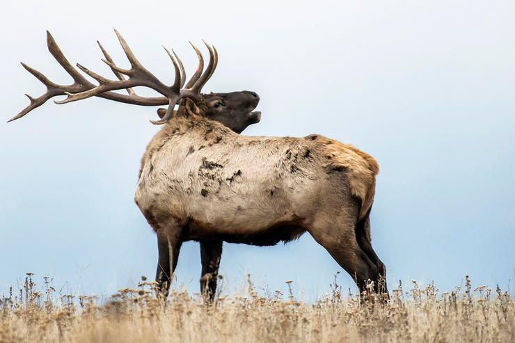 Part of becoming a better caller is understanding why and when elk make the vocalizations that they do. (John Hafner image)