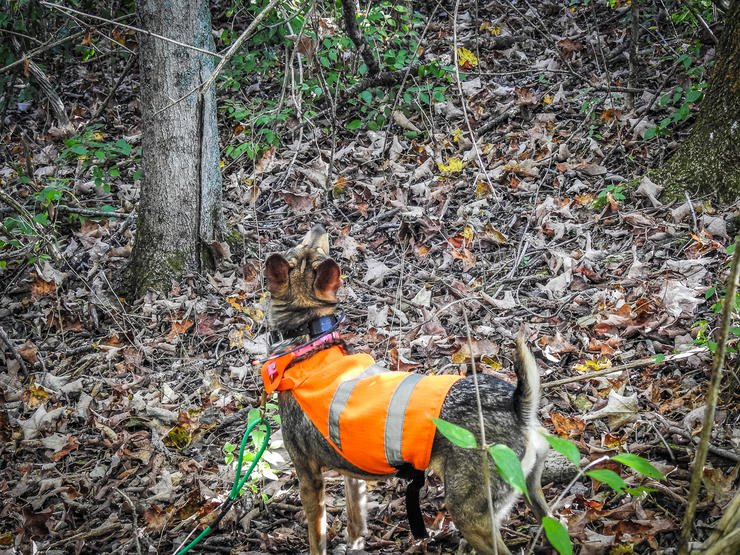 A bright orange vest helps the hunter keep track of their dog in the woods. Image by Michael Pendley