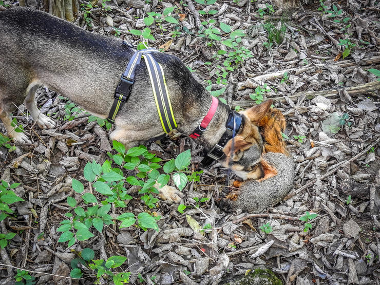 Make sure the dog follows the squirrel from shot to ground. Image by Michael Pendley