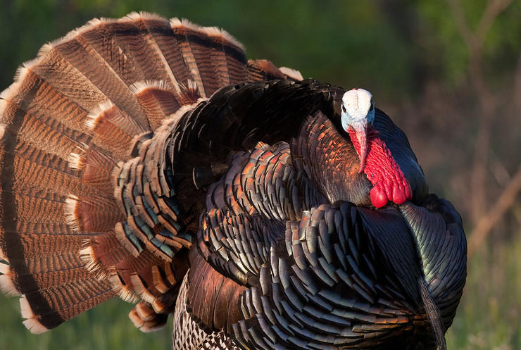 The wild turkey resource is too precious for poachers to steal. The stories here are about bad guys getting caught. Photo by Russell Graves