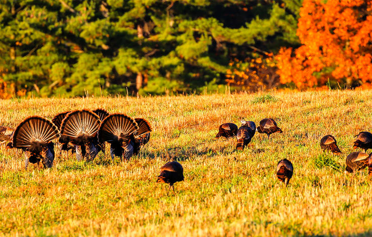 Some 42 states offer fall turkey seasons for birds like these. Image by Michael Tatman / Shutterstock