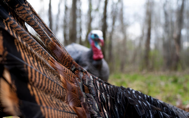 There's more to killing a turkey with a decoy than just staking it out. Image by Phillip Culpepper