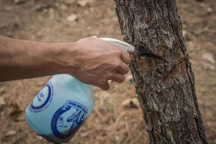 A big part of managing timber stands includes removing undesired species using methods like the hack and squirt application of herbicide pictured here. Image by Bill Konway