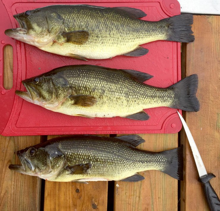 Filleting bass goes against the grain for many modern anglers, but some fisheries might improve if we cleaned a few more bass. Image by Shutterstock / David Weiler