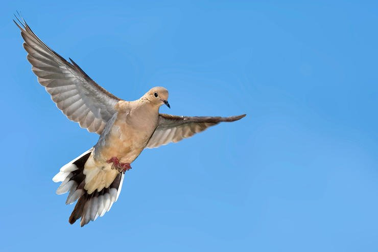 Every field will have hot corners. Watch flight paths in the days ahead of a hunt to determine how doves enter and exit your field. Image by Harold Stiver / Shutterstock