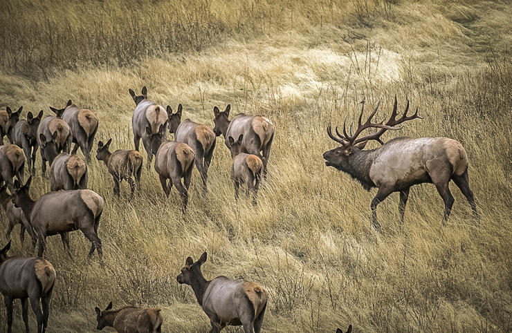 Getting a shot off at an elk is hard. Recovering one after a subpar hit is equally challenging. Image by John Hafner