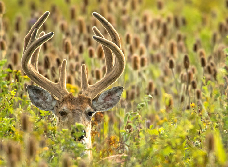 You've watched that monster velvet buck grow all summer long, but there's no guarantee it'll still be there come opening day. Image by John Hafner