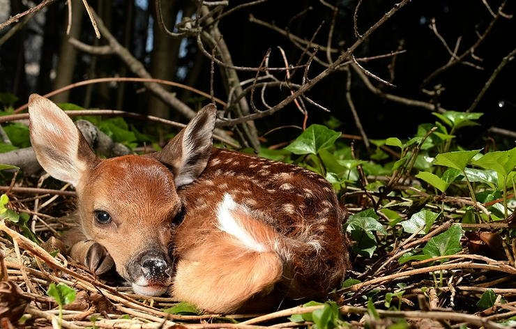 A percentage of fawns will always die, predators or no predators. Image by Shutterstock / L.E. Mormile